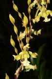 Strebloceras del Dendrobium Imagen de archivo libre de regalías