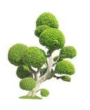 Streblus asper树 免版税图库摄影