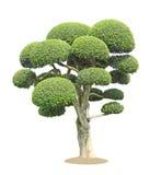 Streblus asper树 免版税库存照片