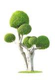 Streblus-asper Baum Lizenzfreie Stockbilder