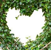 Streblus asper Lour或暹罗粗砺的灌木 库存图片