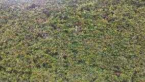 Streblus-asper Lour-Beschaffenheitshintergrund Stockfotografie