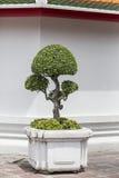 Streblus asper, Siamese rough bush, Khoi in pot. Streblus asper, known by several common names, including Siamese rough bush, Khoi Stock Photos
