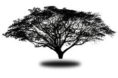 Streblus asper tree on isolated background stock image