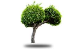 Streblus asper tree on isolated background stock image