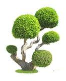 Streblus asper tree Royalty Free Stock Photo