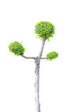 Streblus asper tree Royalty Free Stock Photography