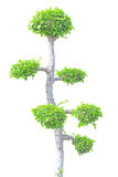Streblus asper tree Royalty Free Stock Photos