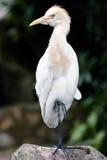 Strecken Sie den Vogel, der indem Sie auf einem Fuß stillsteht, stehen lizenzfreie stockfotos