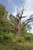 Strectched za weteranów drzewach perspektywiczny hatfield park England Europe obraz royalty free