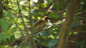 Streep-throated bulbul, of strook-throated bulbul, is species van zangvogel in de bulbulfamilie van passerinevogels royalty-vrije stock afbeeldingen