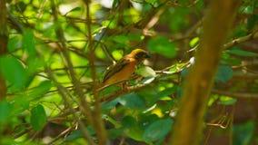 Streep-throated bulbul, of strook-throated bulbul, is species van zangvogel in de bulbulfamilie van passerinevogels royalty-vrije stock foto