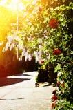 Street in Arbanasi Village, Bulgaria, Rose Flowers Blossom. Bulgaria, Veliko Tarnovo, Street in Arbanasi Village, Rose and Wistaria Blossom Royalty Free Stock Image