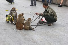 Outdoor act of circus monkeys and a bicycle Royalty Free Stock Photography