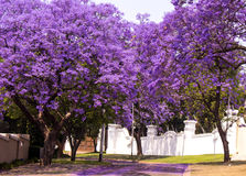Street of beautiful violet vibrant jacaranda in bloom. Spring in Royalty Free Stock Image