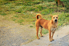 Street Brown Dog stand postionion,. Local and homeless Stock Images