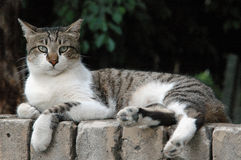 Street cat. Tabby street cat with white front on a wall fence royalty free stock images