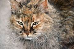 Street cat Royalty Free Stock Image