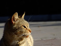Street Cat Royalty Free Stock Photos