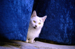 Street cat behind a velvet curtain in a Spanish village. White cat looking out of a clue velvet curtain in a street in a Catalonian village, Spain Stock Photo