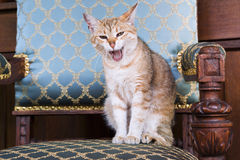 Street cat on a chair Stock Images