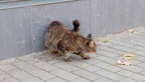 Street cat eating food HD videa footage stock video