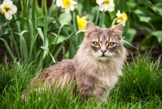 Street cat in  flower bed. Gray fluffy cat is sitting in the green grass. Spring backgrounds Stock Photo