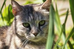 Street cat hunts in the green grass. stock photography