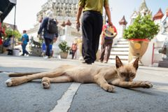 Street cat lick its body to clean itself and relaxing in the morning. Street cat in temple lick lick its body to clean itself and relaxing in the morning. Down Royalty Free Stock Photos