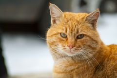 Red-headed cat is beautiful and smart. The street cat named Bob red color is beautiful and smart Stock Photography