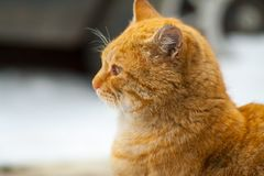 Red-headed cat is beautiful and smart. The street cat named Bob red color is beautiful and smart Royalty Free Stock Image