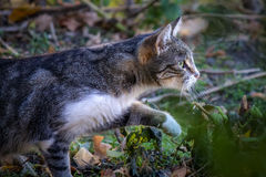 Street cat noticed a prey and creeps after it. Royalty Free Stock Photo