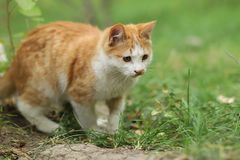 2018 new photo, adorable yellow stray cat royalty free stock image