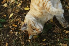 Stray Cat Photographer new photo, cute yellow cat royalty free stock photos
