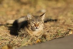 Stray Cat Photographer new photo, small tiger cat relax. Daily street cat photo. small tiger cat relax on grass All of my cats photos are from street cats, they royalty free stock photos