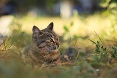 Stray Cat Photographer new photo, small tiger cat relax. Daily street cat photo. small tiger cat relax on grass All of my cats photos are from street cats, they royalty free stock images