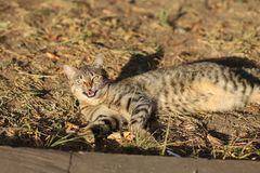 Stray Cat Photographer new photo, small tiger cat relax. Daily street cat photo. small tiger cat relax on grass All of my cats photos are from street cats, they royalty free stock image