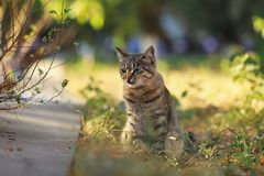 Stray Cat Photographer new photo, small tiger cat relax. Daily street cat photo. small tiger cat relax on grass All of my cats photos are from street cats, they royalty free stock photo