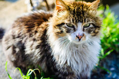 Street Cat Portrait Royalty Free Stock Image