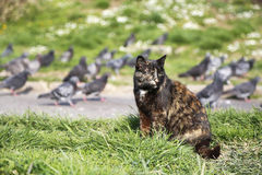 Street cat sit near pigeons at park. In town stock photos