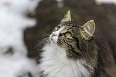 A street cat stay on tre brown ground near white snow in left side and looking for something with attentive gaze royalty free stock images