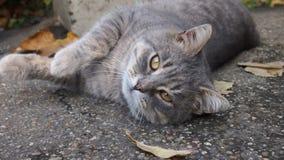 Street cat. Tabby cat lying on the asphalt Royalty Free Stock Photos