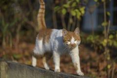 Street cat walking on a wall stock photo