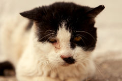 Street cat with a wounded eye Royalty Free Stock Images