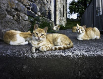 Street cats. Pack of cats in a stairs looking at camera Royalty Free Stock Photography