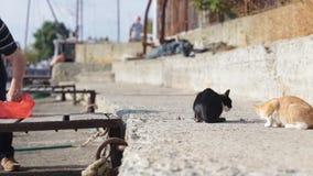 Street cats eat fish stock footage