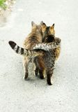 Street cats. With their tails entwined Stock Photography