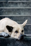 Street Dog. Lying at the staircase with point ear Royalty Free Stock Photos