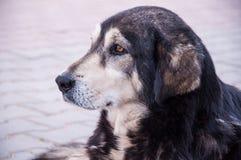 Street dog Stock Image