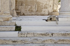 Street Dog among Athens Ruins. Street dog in athens taking a rest among an ancient ruin Stock Image